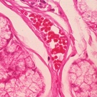 Mucin-producing glands (with bubbly mucin inside vacuoles) with large blood vessel.  Mucin is mostly