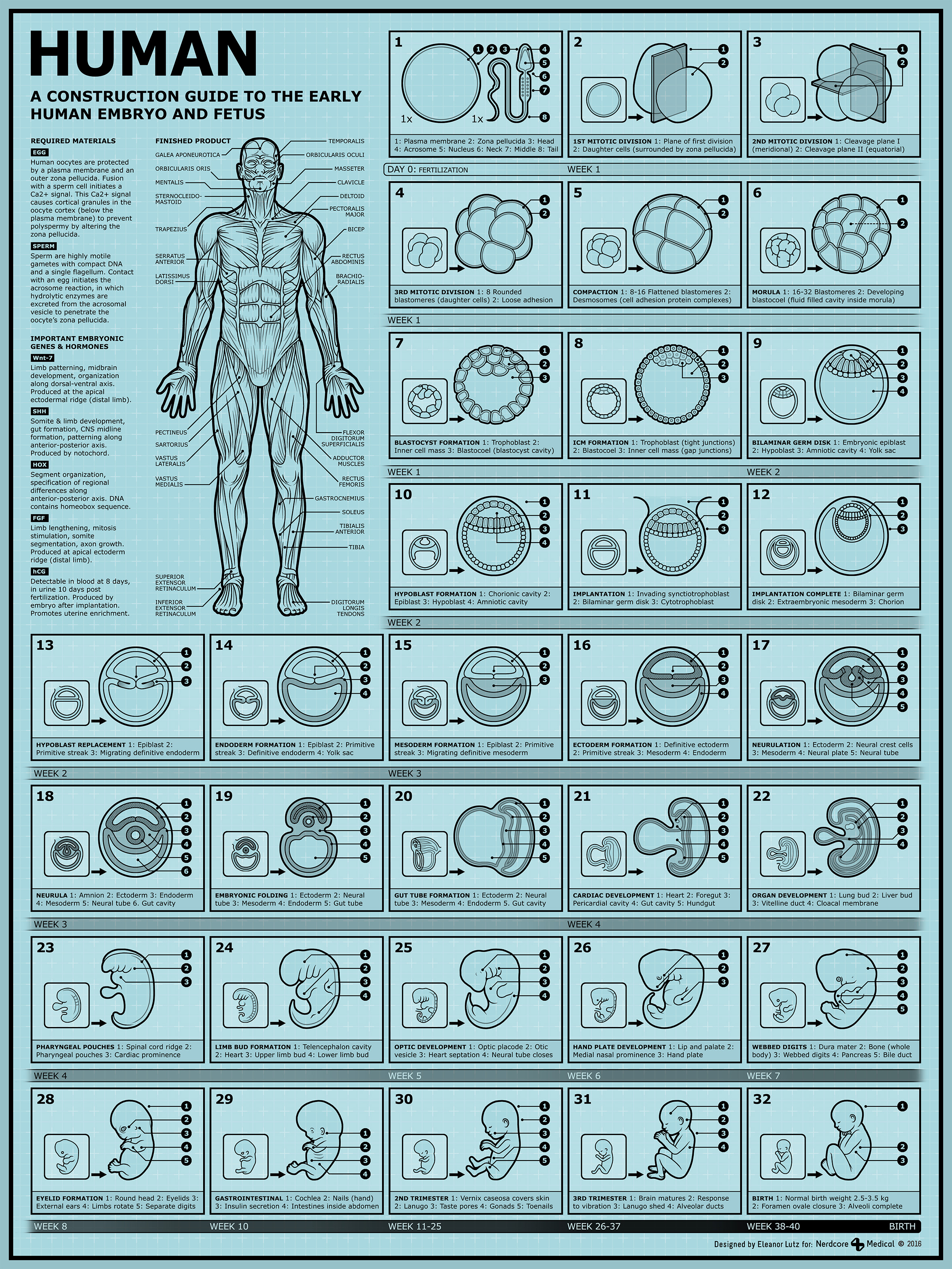 Human embryo development