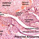 Placenta anchoring villi