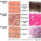 Skeletal muscle is responsible for all voluntary movements, such as running