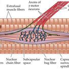 Muscle Spindle Organ