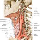 Arteries of the neckLeft lateral view. The structures of the neck are primarily supplied by the exte
