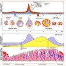 The ovarian cycle has three different phases, it has the follicular phase, ovulation, and the luteal