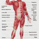 Muscles of the Human Body Anterior view