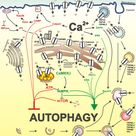 Image result for autophagy