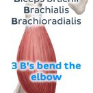 These muscles flex your elbow. Pin to memorize this fact with our #mnemonic