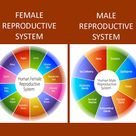 Physiology Info > The Reproductive System