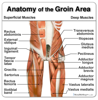 Groin Muscle Tear Surgery   the adductor muscles of the hip are a group of five muscles of the ...