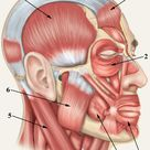 Muscles in the head