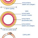 Arteries, veins and capillaries