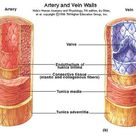 There are three layers that line both arteries and veins