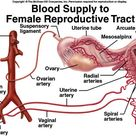 Blood supply of female reproductive tract