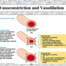 Vasoconstriction and Vasodilation