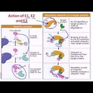 Ubiquitination: Ubiquitin and Polyubiquitination