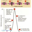 The action potential is an explosion of electrical activity that is created by a depolarizing curren
