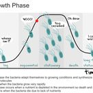 Image result for bacteria growth phase