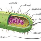 Prokaryotes are single-celled organisms that are the earliest and most primitive forms of life on ea