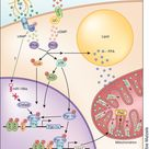 Catecholamine and natriuretic induction of thermogenesis.