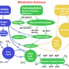 The Science Behind Fat Metabolism