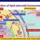 Action of steroid hormones