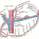 celiac artery and its branches