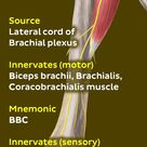 The musculocutaneous nerve innervates the Biceps, Brachialis and Coracobrachialis muscle.