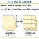 Image result for cell surface area to volume ratio limit