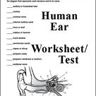 3 page Human Ear Worksheet or Test (Answer Key can also be downloaded)