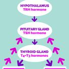 Thyroid pituitary feedback loop is a response mechanism when your body reacts to too low or too high