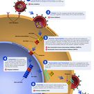 The series of steps that HIV follows to multiply in the body