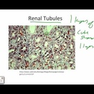 Intro to Histology and Epithelial Tissues
