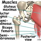 Posterior view of glute max and upper hamstrings.