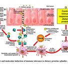 Normal Healthy Gut Response  to Minor Stress, Minor Chemical Injury (toxins) and Minor Infections