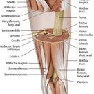 Muscles of the Leg