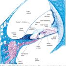 Section through the second turn of the cochlea