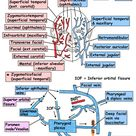 face arterial supply and venous drainage