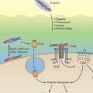 Helicobacter pylori resides exclusively in the hostile environment of the stomach