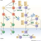 Control points in NKT-cell development