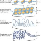 Chromosome condensation is the dramatic reorganisation