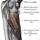 Elbow supinator muscle anterior view