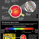 How the eye sees in color