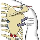 Structure and Function of the Shoulder Complex