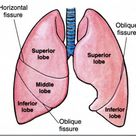 Anatomy of lungs. Its lobes and fissures. #lung #fissure #lobes