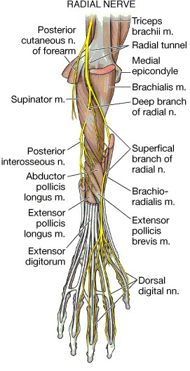 Deep Branch of the Radial Nerve and Posterior Interosseous Nerve