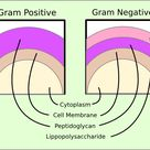 gram-positive - Bing images