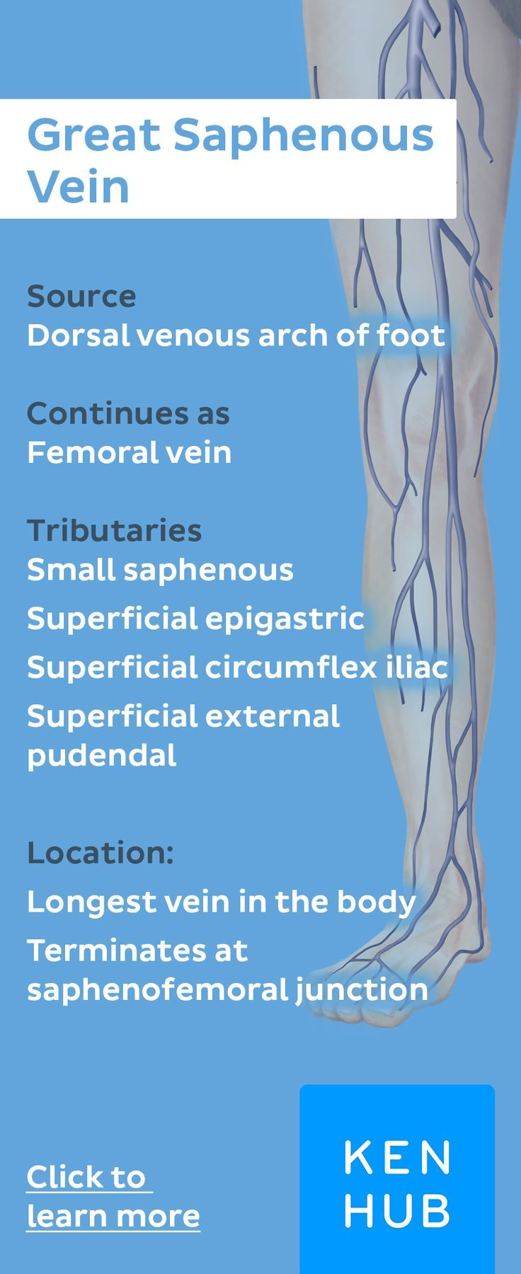 The great saphenous vein is a large superficial vein of the lower limb and drains into the femoral v