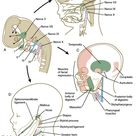 The pharyngeal arches are structures seen in the embryonic development of vertebrates