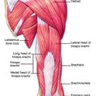 Muscles of the Arm The muscles of the arm move the forearm. Biceps brachii is a muscle of the proxim