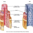 The physiology of the typical artery and vein.