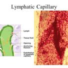 Lymphatic System Lecture